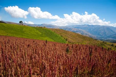 Campo de cultivo de quinua