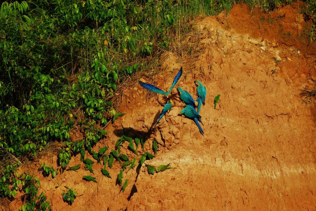 Perroquet au parc du Manú